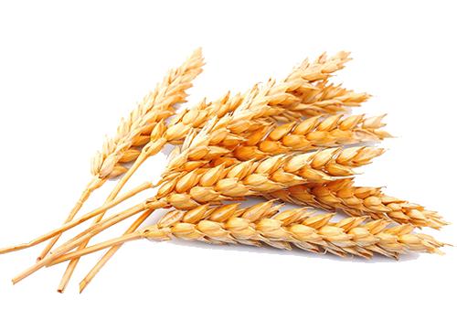 doğal bitkisel buğday yağı